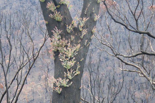 Eucalypt regrows (EG)