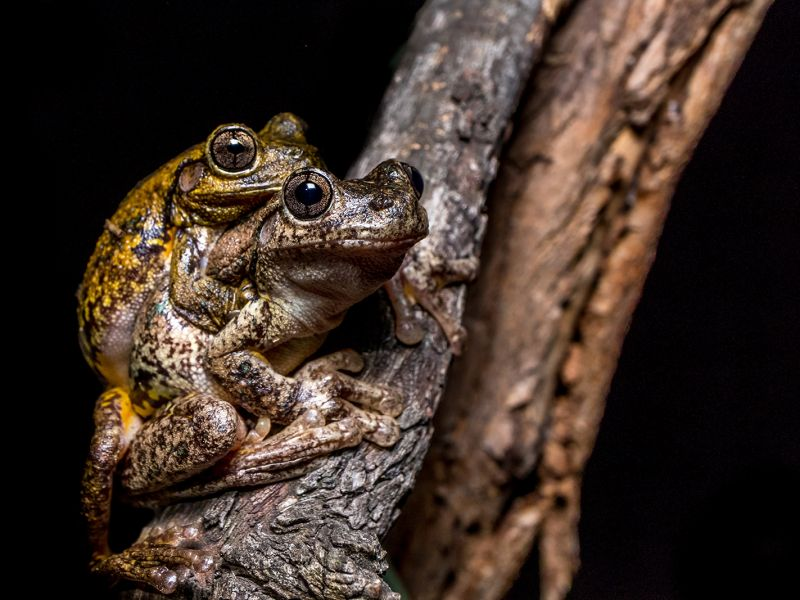 1-first-prize-peron-s-tree-frogs-by-lora-starrs8537A840-DC09-1CED-A6D2-D7C66CAA88A4.jpg