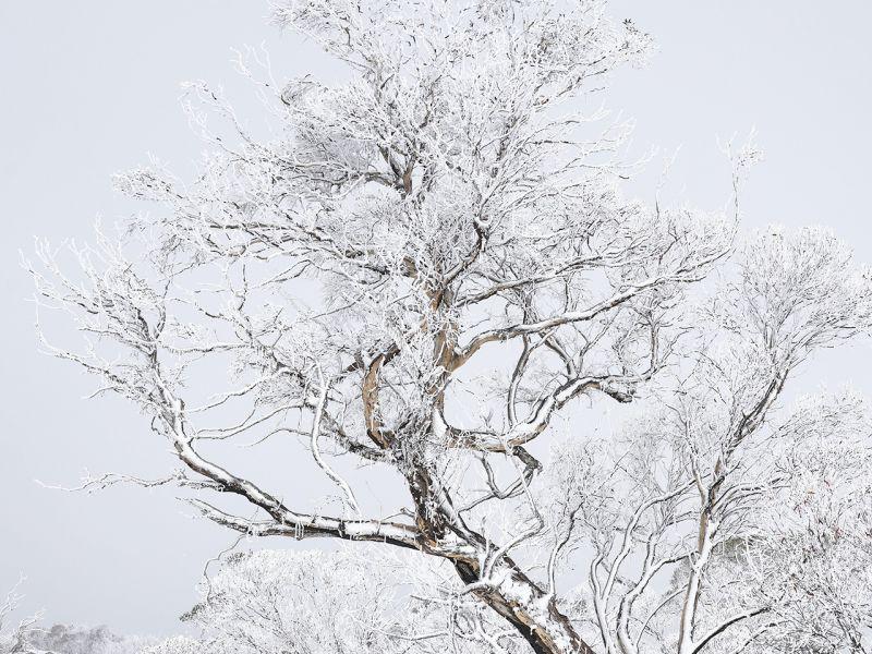 1st-prize-scabby-range-snowgum-by-stefan-de-montis3E856B65-76F7-7425-6FF7-2BF6BB259F05.jpg