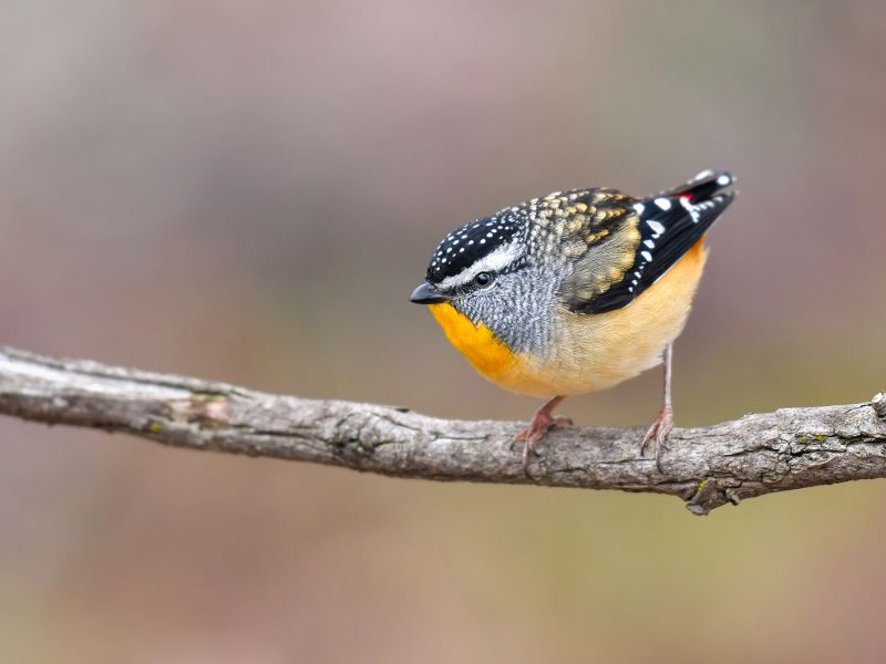 2-second-prize-spotted-pardalote-by-lachland-read93B83874-8B2A-7D22-3B83-BD2594196A38.jpg