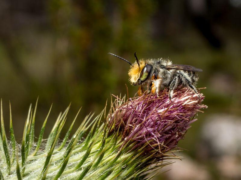 2nd-prize-gold-tipped-leaf-cutter-bee-by-lora-starrsA2332025-F0EB-CF7C-DE78-E1DB423FC8C0.jpg