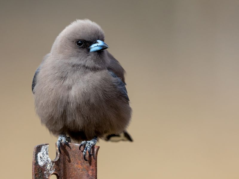 4-highly-commended-dusky-woodswallow-by-tyrie-starrsD6CA51BC-A95D-B74B-8068-F361575F665B.jpg