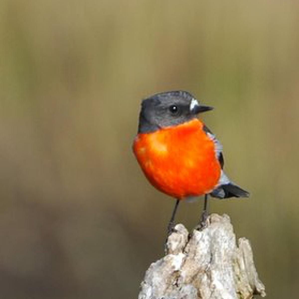 2011 Flame Robin