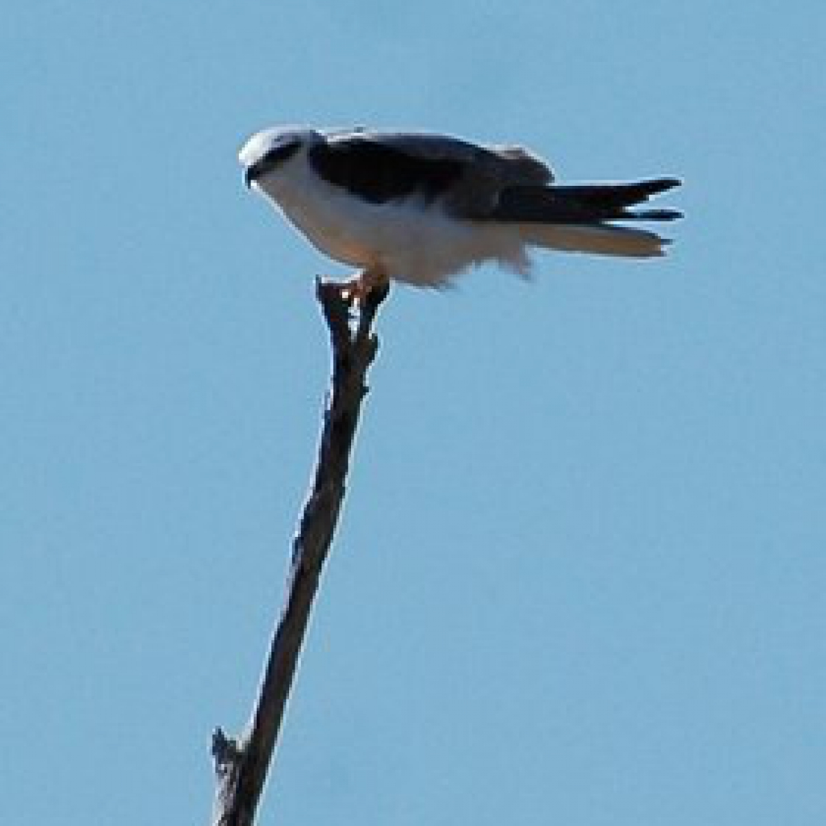 2011 Grey Goshawk