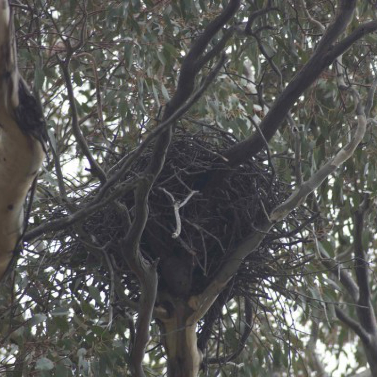 2010 The avian builders in Namadgi