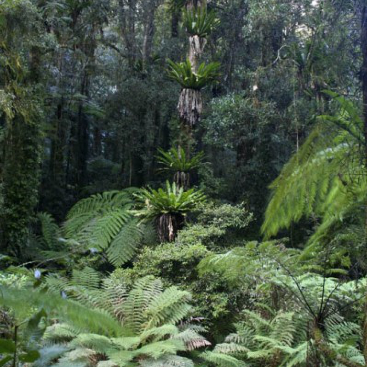 Forest-scape, Lamington National Park, Queensland