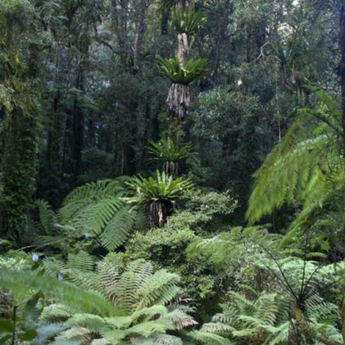 Forest-scape, Lamington National Park, Queensland