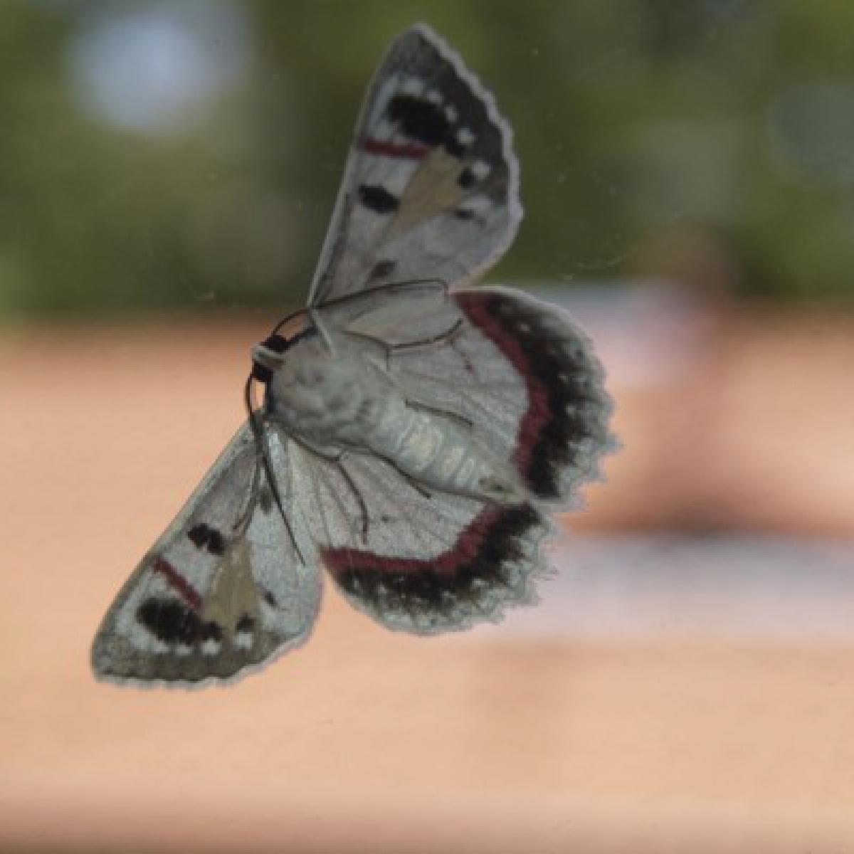 Moth - Crypsiphona ocultaria