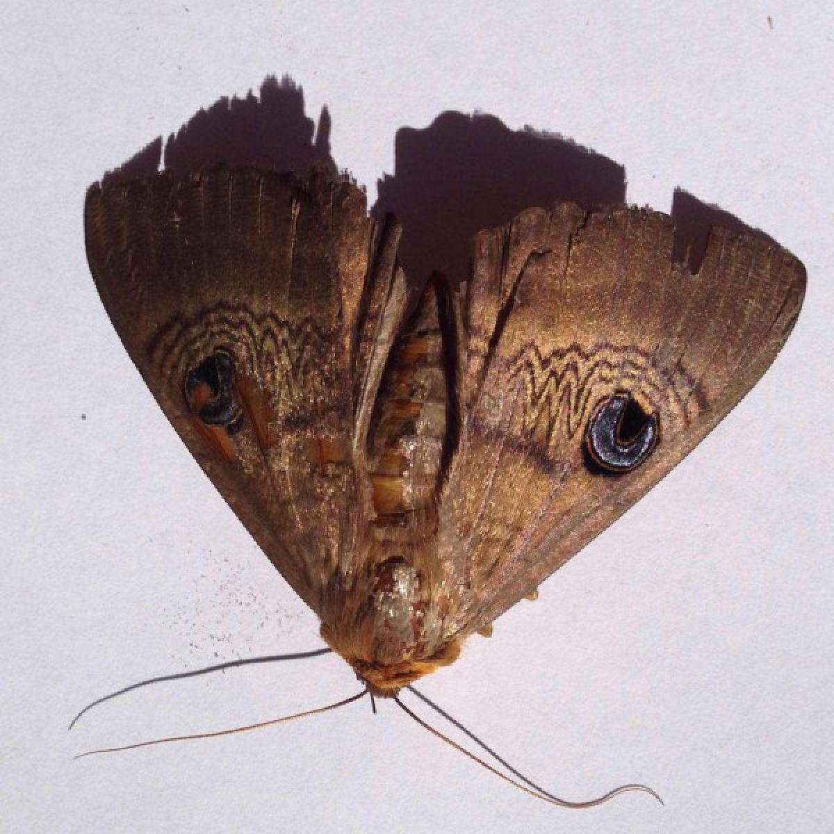 Moth - Dasypodia selevnophora