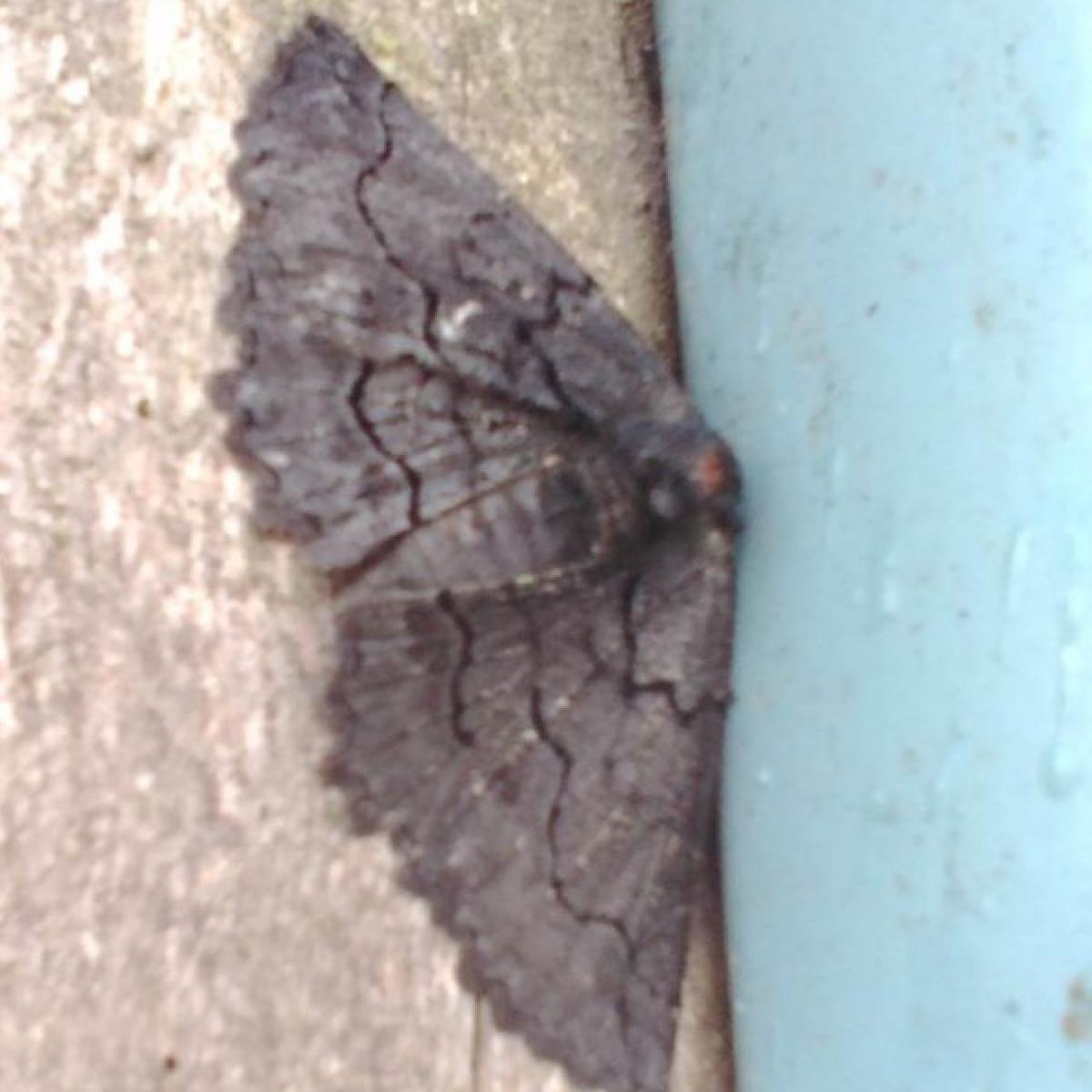 Moth - Melanodes anthracitaria