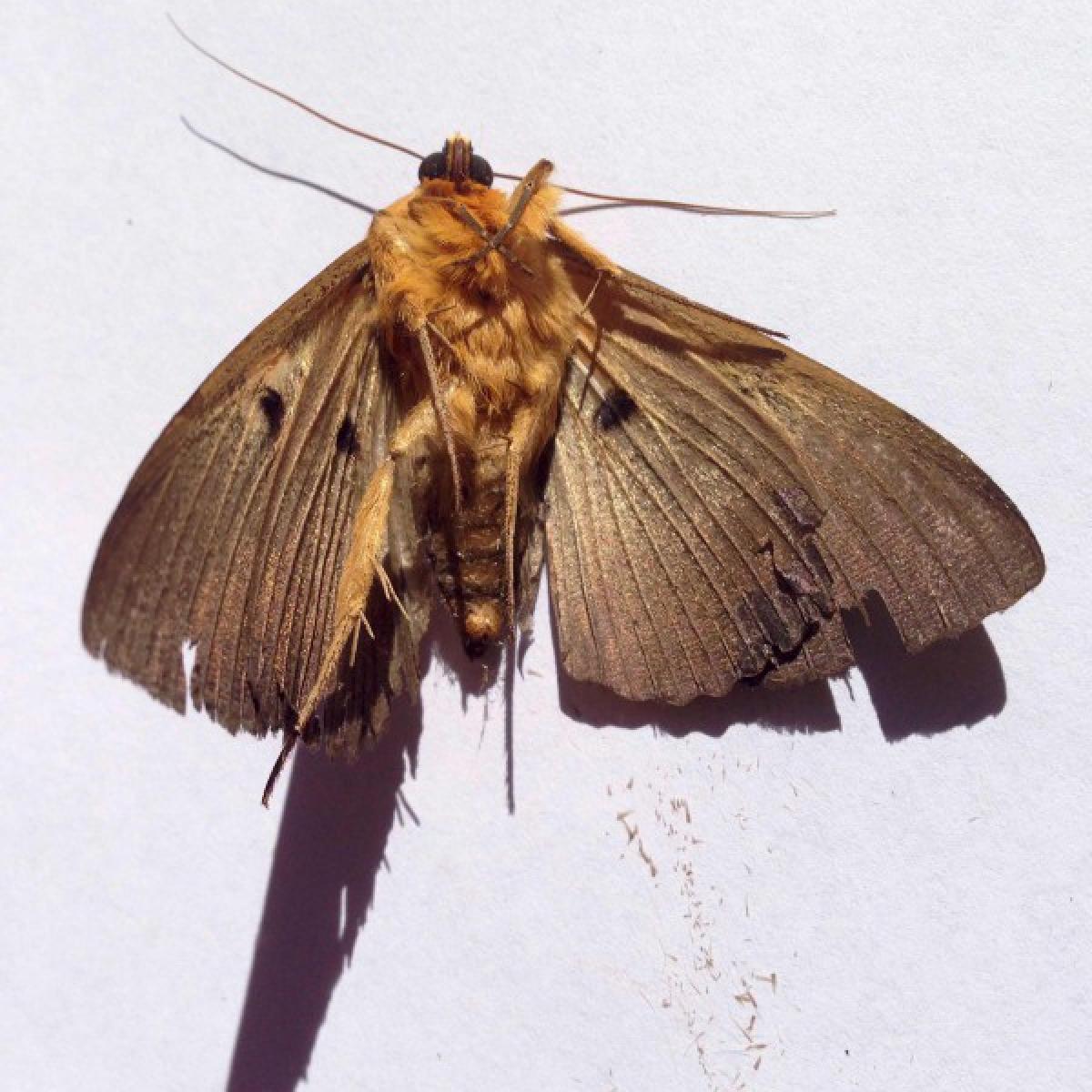 Moth - Dasypodia selevnophora (underside)
