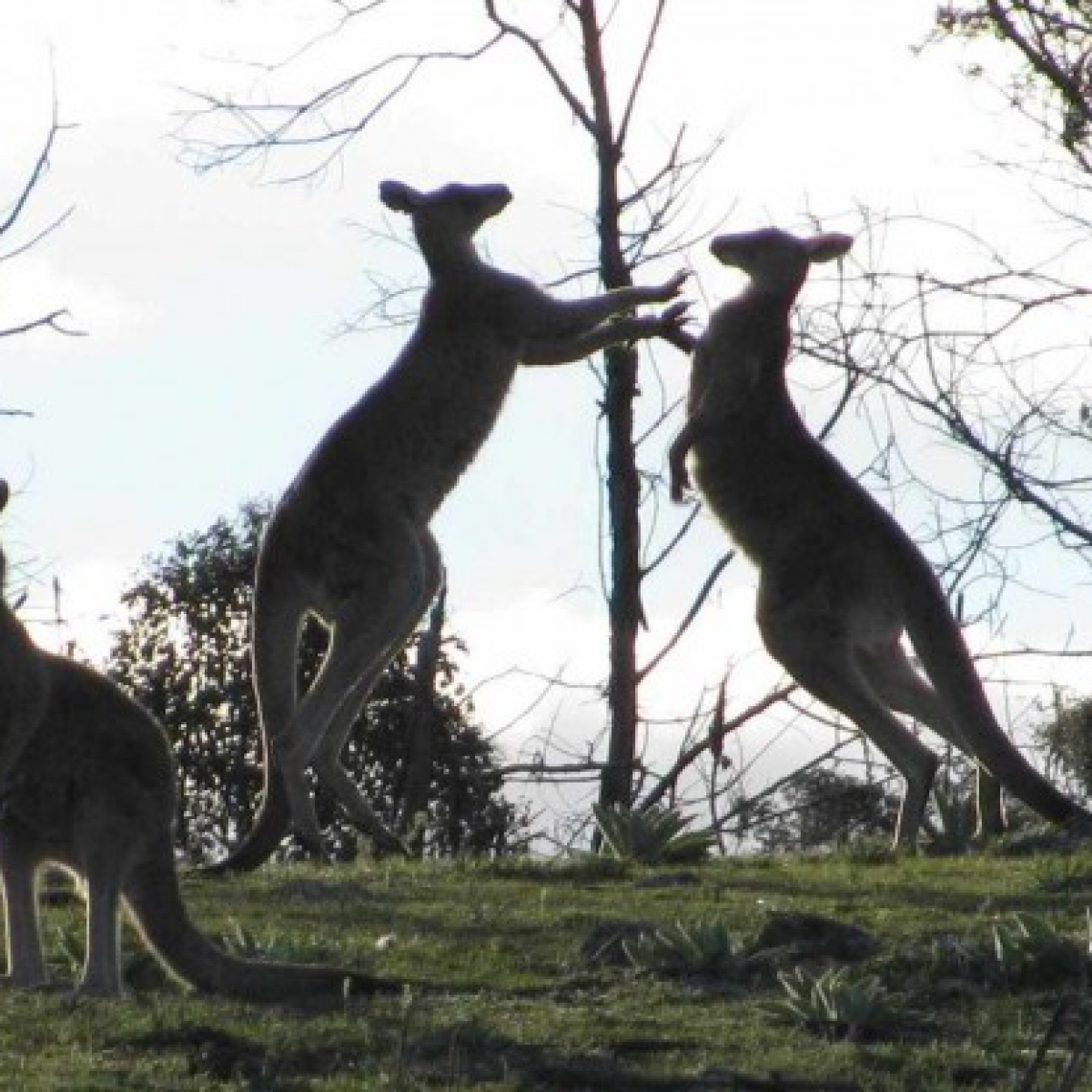 Boxing kangaroos #2