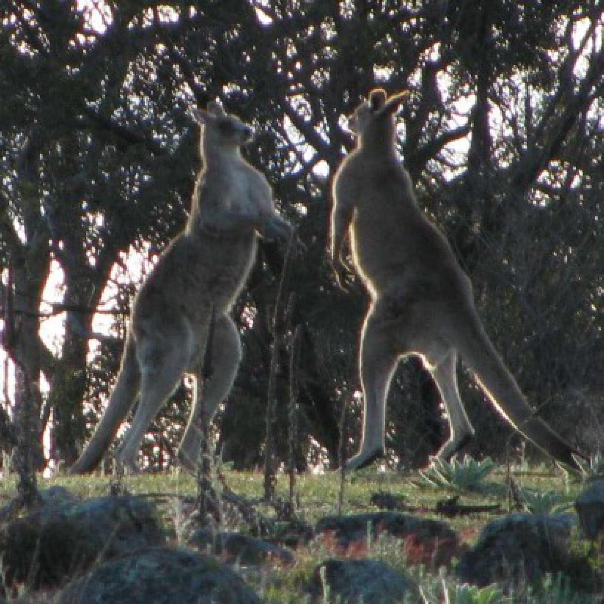 Boxing kangaroos #1