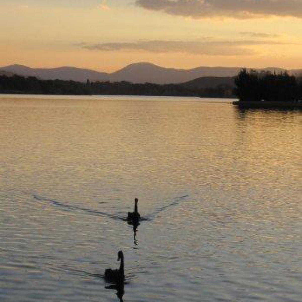 Swans on Lake Burley Griffin at Sunset