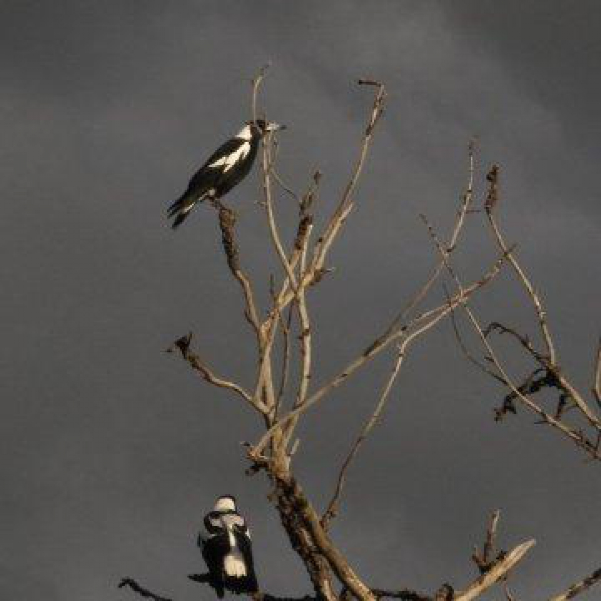 Magpies awaiting the storm