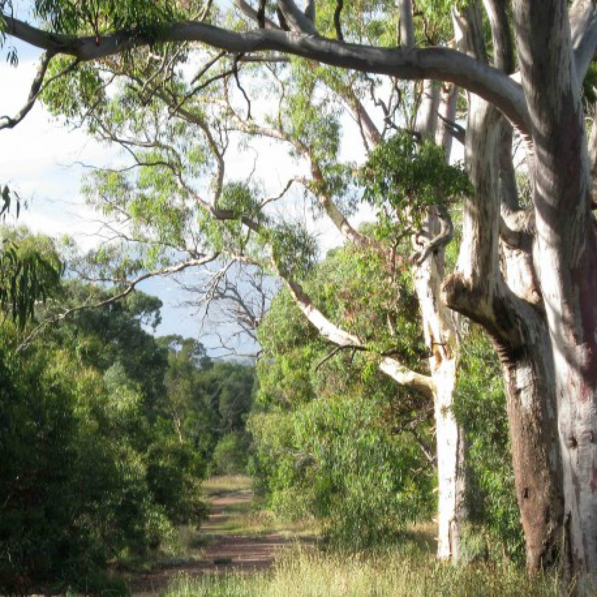 Mt Taylor A path of Eucalypts