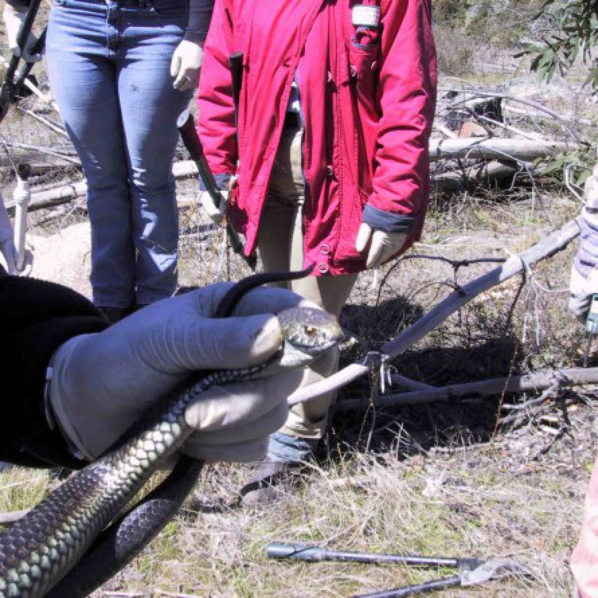 A Highland Copperhead snake