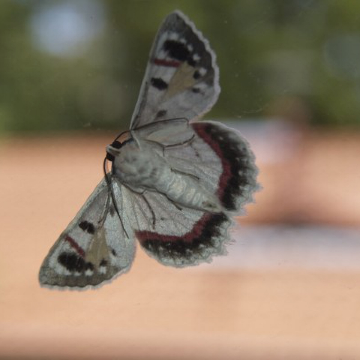 Moth (Crypsiphona ocultaria)