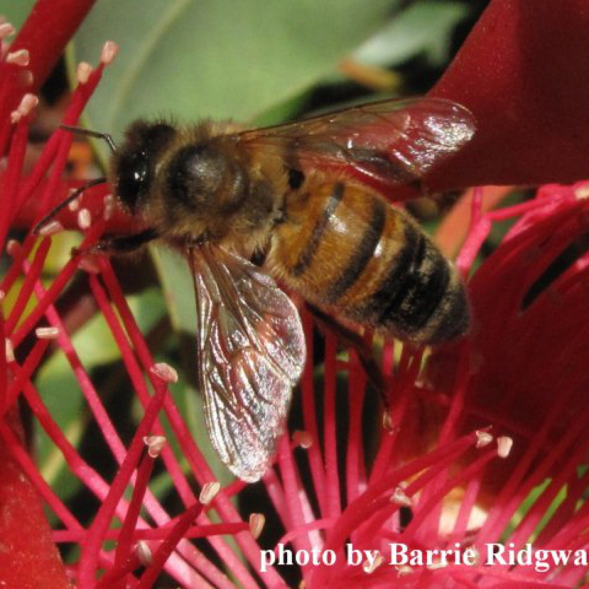 Honey-bee on Ficifolia